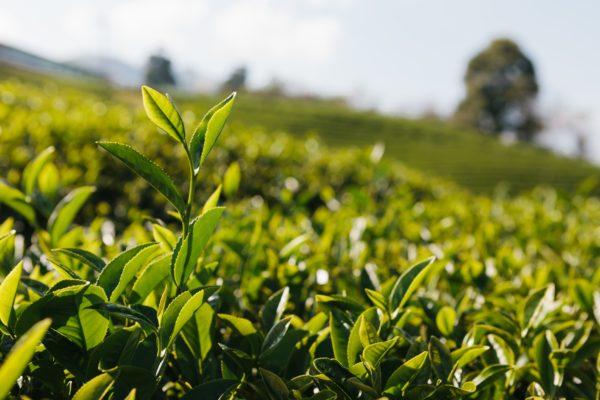 nos capsules de thés Nespresso bio